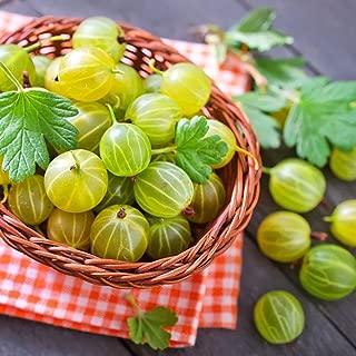 eroute66 50Pcs Organic Gooseberry Currant Fruit Seeds Juicy Home Garden Bonsai Plant