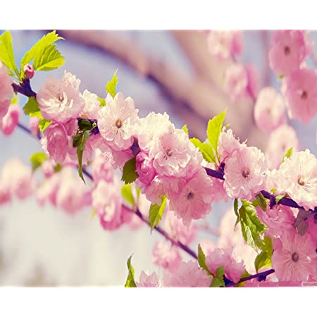 Variety House Cherry Blossom Flower Tree Seeds Pink Amazon In Garden Outdoors