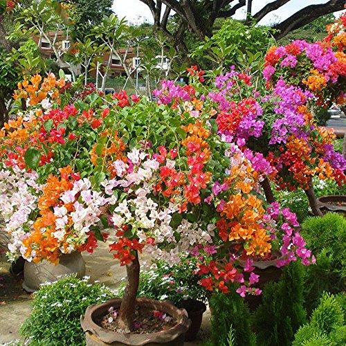 Hierloom Bougainvillea Santa Rita Bonsai-Blumen, gemischte Farben, 5 Samen, buganvilla bugambilia attraktiver Schmetterling beleuchten Ihren Garten