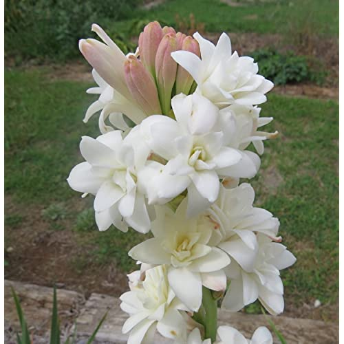 Kraft Seeds Rajnighandha or Tuberose Flower Bulbs (White, Pack of 8 Bulbs)