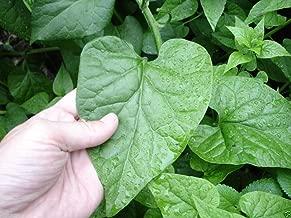 hablitzia tamnoides
