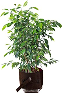 Live Ficus Benjamina Green aka Weeping Fig, Benjamin Fig, Ficus Tree Live Plant - Indoor Live Plant Fit 1 Gallon Pot