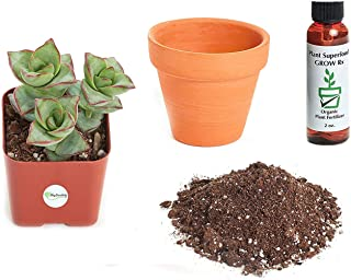 Shop Succulents Plant Crassula Perforata Giant String of Buttons 2In Kit