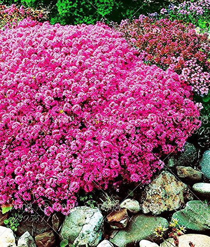 100 / Rock CressBright GRAINES Red Rock Cress Aubrieta FLOWER / Evergreen Perennial / cerf résistant
