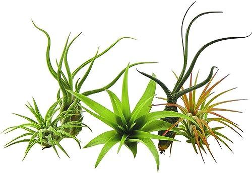 GEOPONICS Paquete de 5 plantas raras Tillandsias planta de aire por parte de US Jardines vivo Planta de la casa con n...