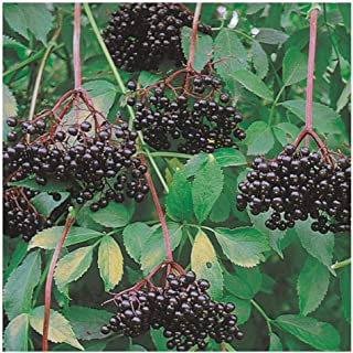 Johns Elderberry - Tree - Shrub - Fruit - Established Roots - 1 Plant in 2 Gallon Pot by Growers Solution