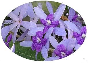 florida wisteria