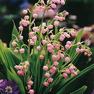 10 Plants- Pink Lily of the Valley, Convallaria Majalis Var. Rosea