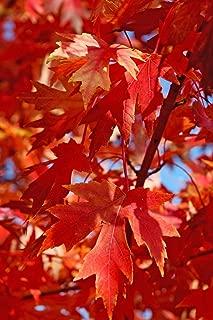 Autumn Blaze Maple Tree - Jeffersred