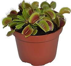 Dionaea muscipula | Venus vliegenval | Vleesetende plant | Hoogte 10-15 cm | Pot - Ø8,5cm