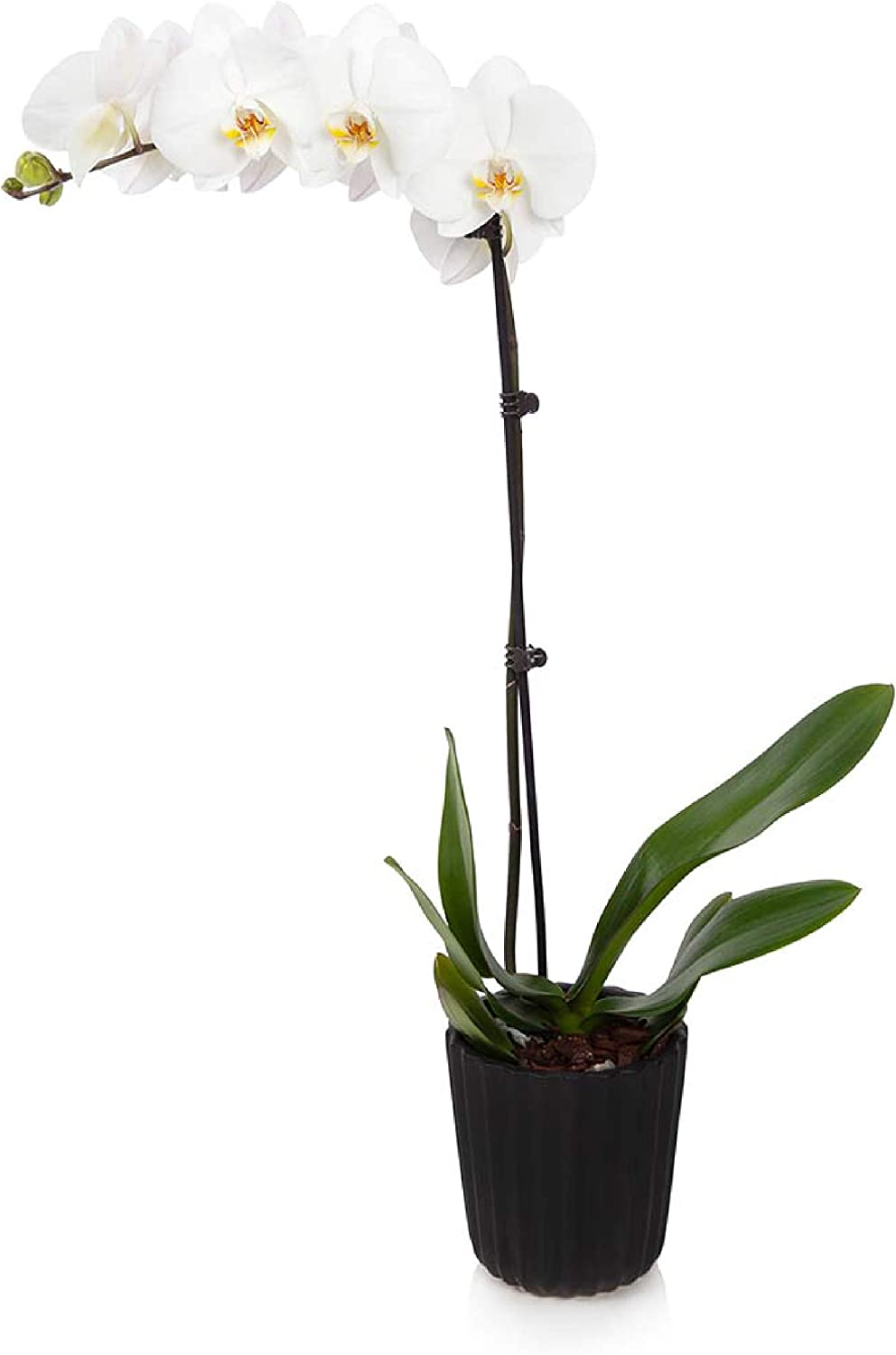 """White Just Add Ice J-420 Orchid Easy Care Live Plants 5/"""" Diameter"""