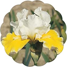 Stargazer Perennials Protocol Iris Plant Potted | Bi-Color Yellow White Flowers | Easy to Grow Perennial Iris Plant