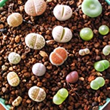 Mix - 100pcs/Bag Beautiful Lithops Seeds Plants Seeds for Home/Office Live Indoor/Outdoor Pot Plant Decor Plant Seeds Gift