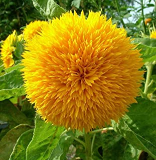 Sunflower Seeds for Planting | Heirloom & Non-GMO | 50 Teddy Bear Sunflower Seeds to Plant in Home Gardens | Full Planting...