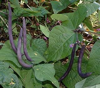Royalty Purple Pod Greenpod Bush Bean Non-GMO Garden Vegetable Legume - 15 Seeds