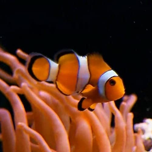 Real clownfish in aquarium PRO