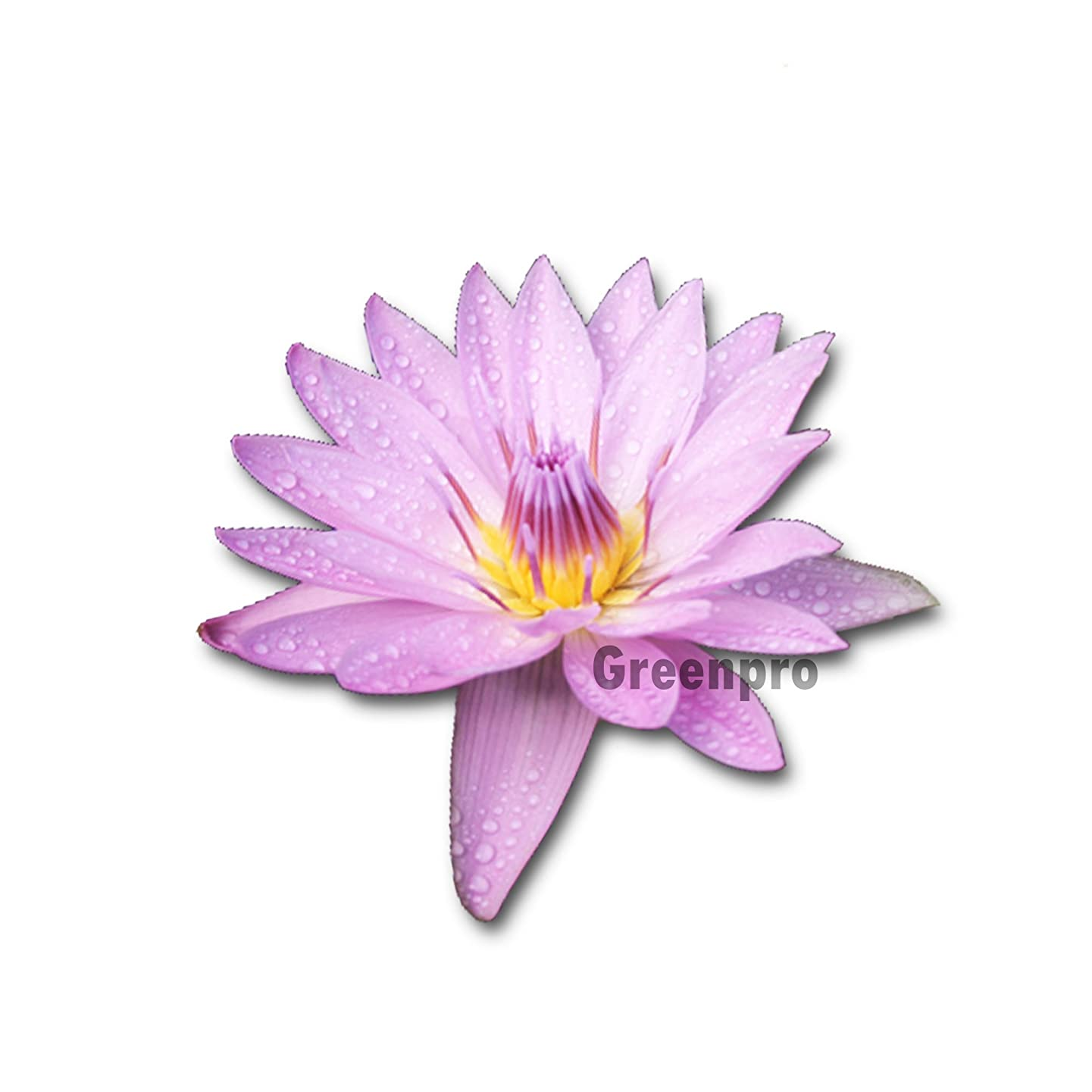 Live Aquatic Plant Nymphaea Pink General Pershing Water Lilies Tuber for Aquarium Freshwater Fish Pond by Greenpro