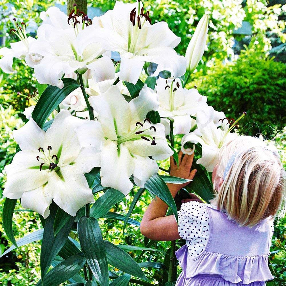 1x Bulbo Lilium Bulbi fiori Bulbi a fioritura estiva Giglio gigante Conca d/'Or