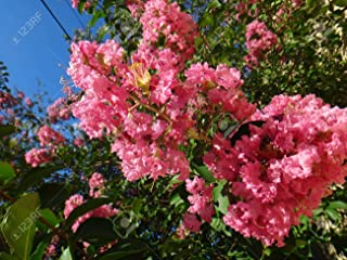 HOT - 1000 Seeds Chinese Crepe Myrtle,Lagerstroemia Indica,Bonsai Suitable