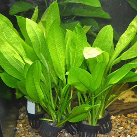 Amazon Sword - Echinodorus Bleheri x3 Plants - Live Aquarium Plant