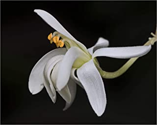 Merope angulate 5 Super Rare Seeds Mangrove Lime Citrus Scented Leaves Small White Blooms Perfect Container Growing Plant Collectors