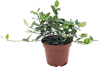 Asiatic Jasmine Minima - 30 Live 4 Inch Plants - Trachelospermum Asiaticum - Drought Tolerant Cold Hardy Evergreen