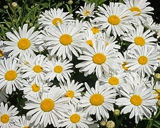 Best false daisy seeds Reviews