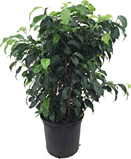 Best weeping fig indoor Reviews
