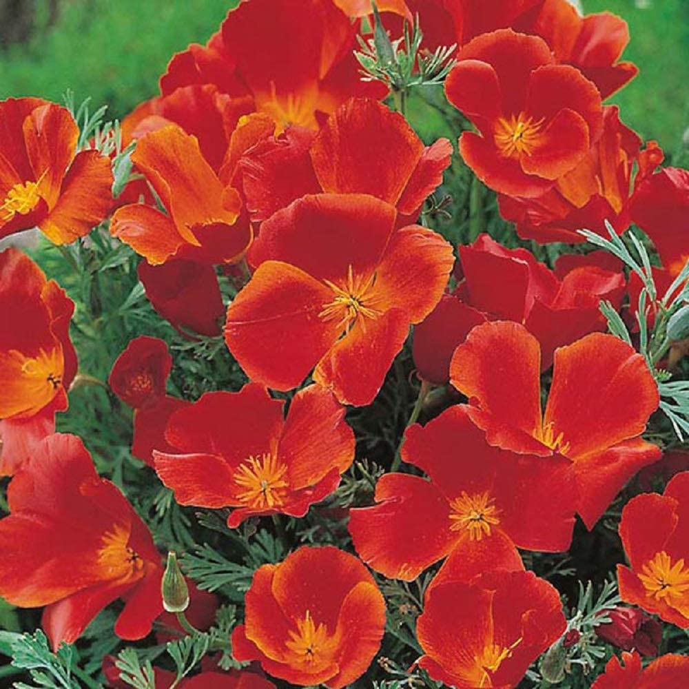California Poppy Seeds, Red Chief Eschscholzia - Large Pack of 20,000 Seeds by Seeds2Go