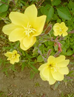 TOMHY Seeds Package: One Evening Primrose Seeds Sundrops Fragrant Winter Hardy