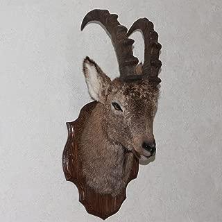 StoreTaxidermy LLC (Taxidermy Studio) SIBERIAN IBEX TAXIDERMY HEAD SHOULDER MOUNT - WILD MOUNTAIN GOAT MOUNTED, STUFFED ANIMALS FOR SALE - REAL, DECOR, WALL MOUNT - ST4324