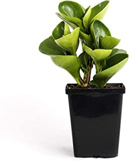 Plants by Post Peperomia Obtusifolia Green Quart Baby Rubber Plant 4