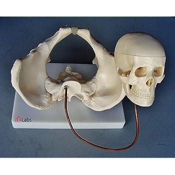 Birth Demonstration Model (PVC Plastic) by mLabs