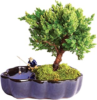 Brussel's Live Green Mound Juniper Outdoor Bonsai Tree in Zen Reflections Pot - 3 Years Old; 6