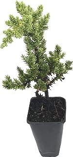 juniper ground cover florida