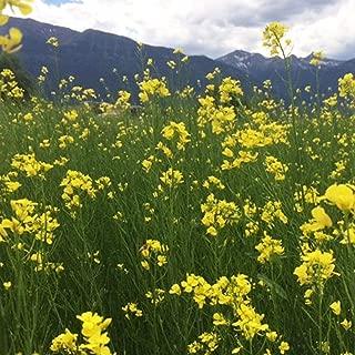 Kodiak Mustard Seeds by Mighty Mustard - 5 Lb - Non-GMO, Open Pollinated Farm & Garden Cover Crop Seeds