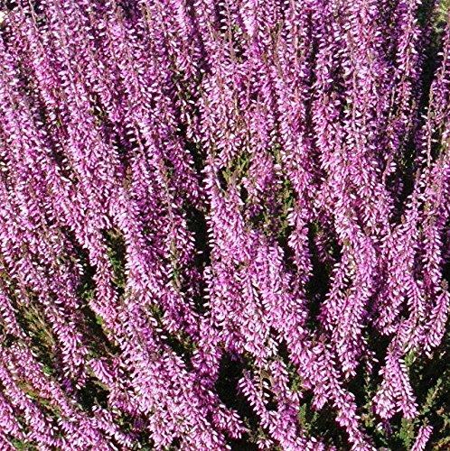 25 seeds - Calluna Vulgaris Seed,Scotch heather, an evergreen ground cover or...