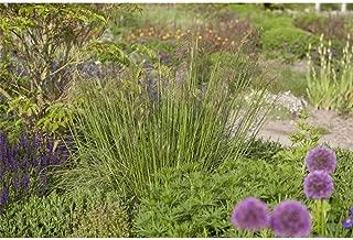 P 1 Garten-Chinaschilf /'Blütenwunder/' Miscanthus sinensis /'Blütenwunder/'