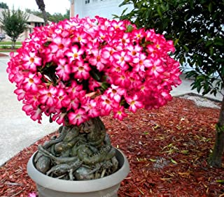 Seed - NOT Plant - Best Quality - Bonsai - Pcs/Bag Desert Rose Bonsai,Potted Flowers Bonsai, 100% True Bonsai Adenium Obesum Office Indoor Bonsai Plant Mini Potted Tree - by SeedWorld - 1 PCs