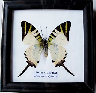 INSECTFARM Framed Real Beautiful Fivebar Swordtail Butterfly Collection Gift Display Insect Taxidermy - BTF01J2