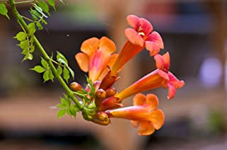 HOT - Trumpet, or Hummingbird Vine Orange/red Flower, 20 Seeds! GroCo
