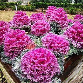 AGROBITS 30pcs Kale Collard Flores de Invierno Ver