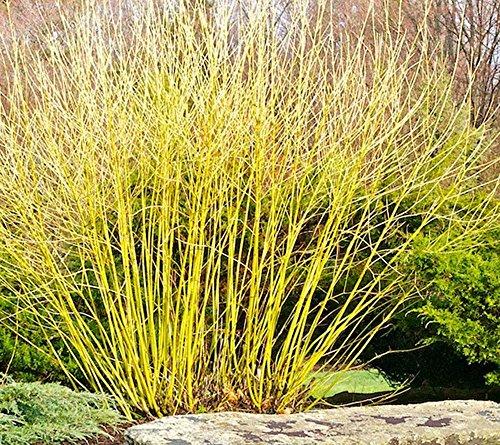 PERAGASHOP 1 Pflanze Cornus Serie...