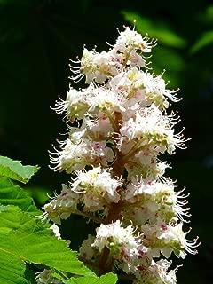 white chestnut tree flower