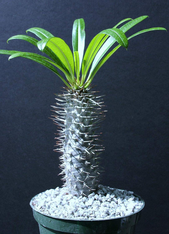 AL完売しました。 Pachypodium Lamerei Rare Madagascar Palm Cacti Plant Caud ☆最安値に挑戦 Cactus