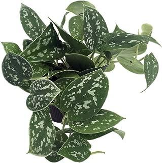 silver satin pothos plant