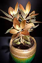 Kalanchoe Orgyalis Copper Spoons Spoon Rare Succulent Seed 100 Seeds TkExotic