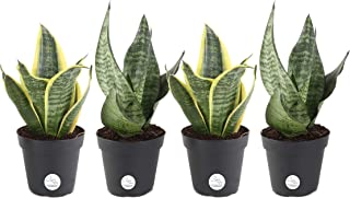 Costa Farms Snake Plant, Mother-In-Law's Tongue, Sansevieria, Easy to Grow, Ships in 4-Inch Grower Pot, 10-Inches Tall, 4-Pack, Fresh From Our Farm