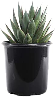 Plants by Post Agave Blue Glow 2 Gallon Hardy Garden Succulent, Green