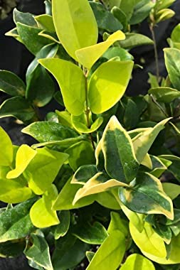Ligustrum Japonicum Howardi - 3 Live Plants - Privet Howardii - Variegated Evergreen Shrub